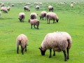 suffolk rural country sheep farm © dibrova Shutterstock