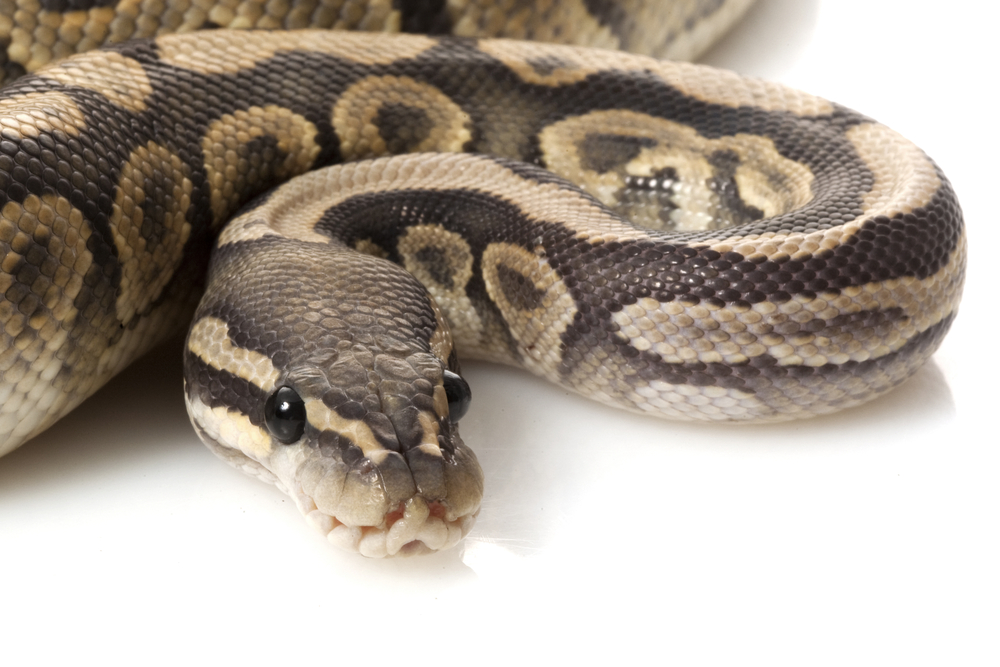python snake programming language danger © fivespots Shutterstock