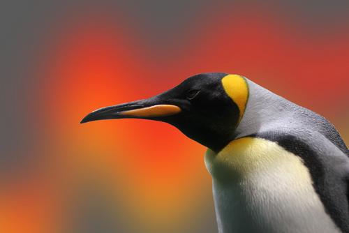 Linux, penguin © Nik Frey Shutterstock 2012