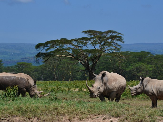 Rhino Kenya