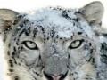 snowleopard234